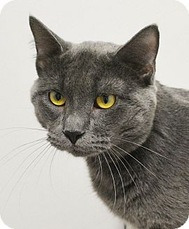 Domestic Shorthair Cat for adoption in Springfield, Illinois - Slater