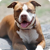 Pit Bull Terrier Mix Dog for adoption in Lakeland, Florida - Cinnabun