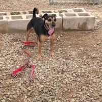 Jack Russell Terrier Mix Dog for adoption in Frankfort, Illinois - Willie