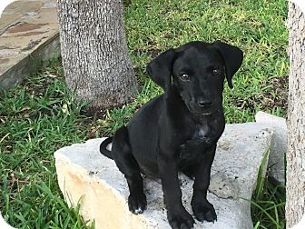 Labrador Retriever Mix Puppy for adoption in San Francisco, California - Jim