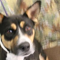 Adopt A Pet :: Cleo - Huachuca City, AZ