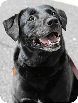 Labrador Retriever Mix Dog for adoption in Cumming, Georgia - Shatka