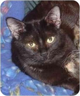 Domestic Shorthair Cat for adoption in Kansas City, Kansas - Taffie