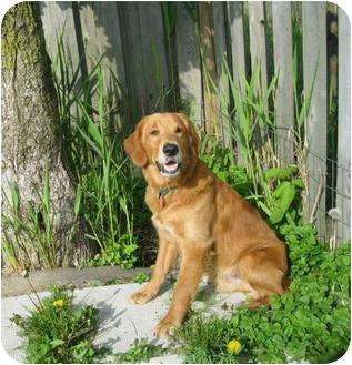 Golden Retriever Mix Puppy for adoption in Ile-Perrot, Quebec - RICKARD
