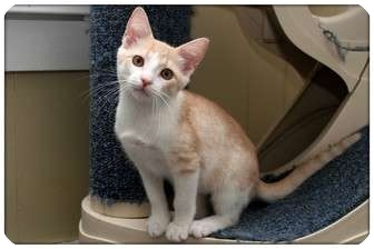 Domestic Shorthair Cat for adoption in Sterling Heights, Michigan - Lotus - ADOPTED!