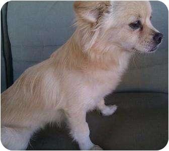 Pomeranian/Chihuahua Mix Dog for adoption in Phoenix, Arizona - Tapioca