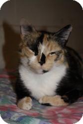 Calico Cat for adoption in Acushnet, Massachusetts - Ashley