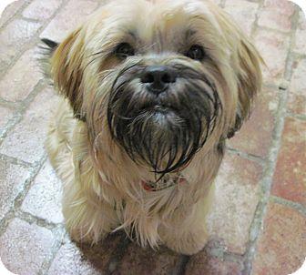 Lhasa Apso Mix Dog for adoption in Scranton, Pennsylvania - Sally