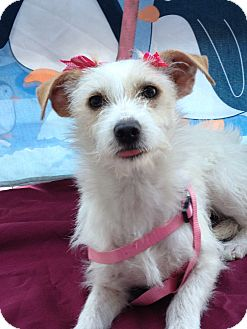 Terrier (Unknown Type, Small) Mix Dog for adoption in Irvine, California - Bianca