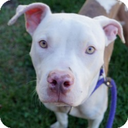 American Staffordshire Terrier/Labrador Retriever Mix Dog for adoption in Eatontown, New Jersey - David