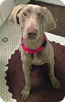 Weimaraner Puppy for adoption in Grand Haven, Michigan - Summer