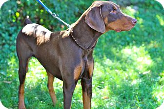 Doberman Pinscher Mix Dog for adoption in Salem, New Hampshire - PRINCE