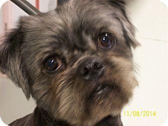 Shih Tzu/Pug Mix Dog for adoption in Hartford, Kentucky - Bear
