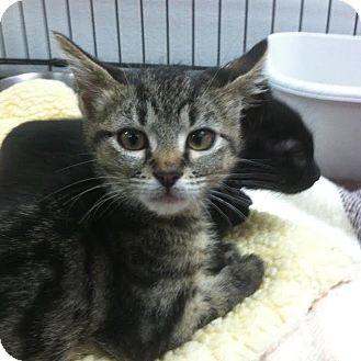 Domestic Shorthair Kitten for adoption in Westminster, California - Viola