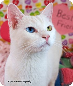 Domestic Shorthair Cat for adoption in Knoxville, Tennessee - Charming