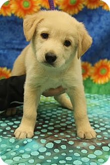 Labrador Retriever/Shepherd (Unknown Type) Mix Puppy for adoption in Hagerstown, Maryland - Ginger