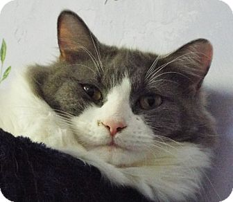 Domestic Longhair Cat for adoption in Grants Pass, Oregon - Mr Dylan