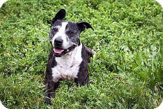 American Staffordshire Terrier/Bull Terrier Mix Dog for adoption in St Helena, California - Lexi