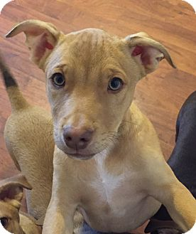 Labrador Retriever Mix Puppy for adoption in Colmar, Pennsylvania - Duncan