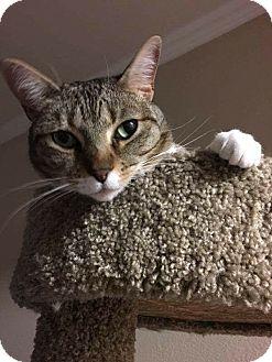 Domestic Shorthair Cat for adoption in Arlington/Ft Worth, Texas - Dakota