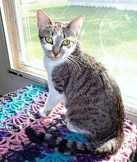 Domestic Shorthair Cat for adoption in Parkton, North Carolina - Star