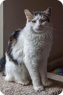 Domestic Mediumhair Cat for adoption in Prescott, Arizona - Gareth