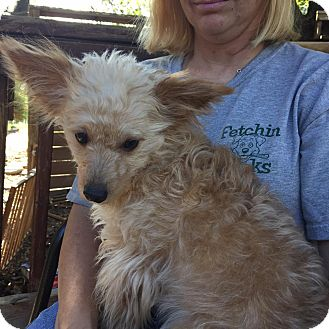 Yorkie, Yorkshire Terrier/Chihuahua Mix Dog for adoption in Red Lion, Pennsylvania - HOPE