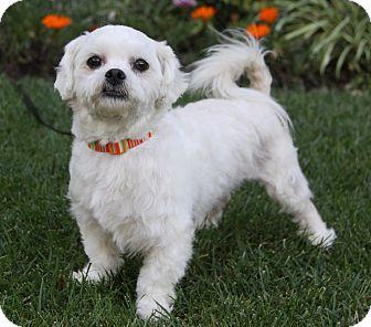 Shih Tzu/Maltese Mix Dog for adoption in Newport Beach, California - KELLY