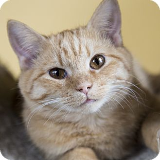 Domestic Shorthair Cat for adoption in Chicago, Illinois - Avalon