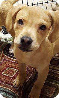 Labrador Retriever Mix Puppy for adoption in Akron, Ohio - Fettuccine