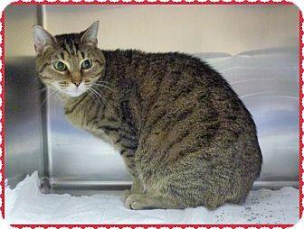 Domestic Shorthair Cat for adoption in Marietta, Georgia - PUMA