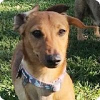 Adopt A Pet :: Addison Allegro - Houston, TX