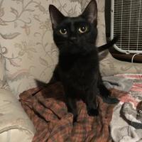 Adopt A Pet :: Chleo - Williamsport, PA