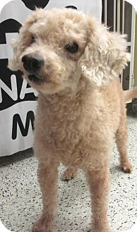 Poodle (Miniature) Dog for adoption in Conroe, Texas - Teddy Bear