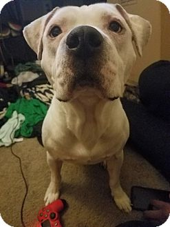 American Pit Bull Terrier/American Bulldog Mix Dog for adoption in North Las Vegas, Nevada - Hades