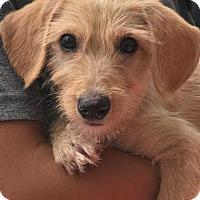 Adopt A Pet :: Baby Butterscotch - Adoption pending - Rockville, MD