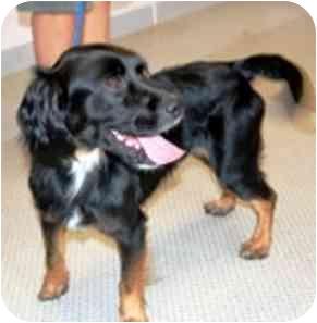 Cocker Spaniel Mix Dog for adoption in Osseo, Minnesota - Baxter
