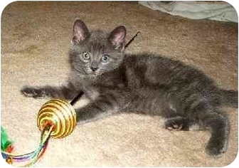 Domestic Shorthair Kitten for adoption in Troy, Michigan - Marie
