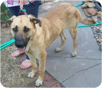 Belgian Malinois Mix Dog for adoption in Goodland, Kansas - Abby