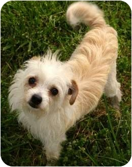 Cairn Terrier Mix Dog for adoption in Yuba City, California - Victoria