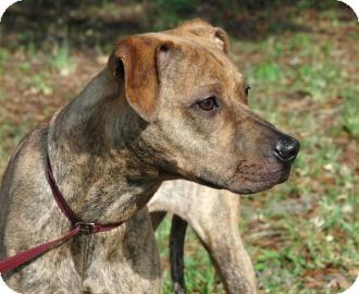 Greyhound Mix Dog for adoption in Gainesville, Florida - Promise