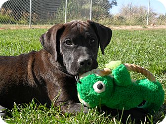 Labrador Retriever/American Staffordshire Terrier Mix Puppy for adoption in Jerome, Idaho - Dudette #5139