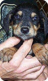 Cocker Spaniel/Dachshund Mix Puppy for adoption in stanwood, Michigan - BRANDON