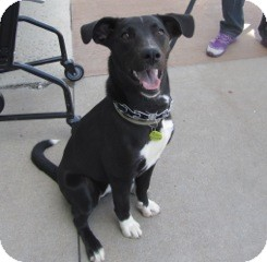 Border Collie Mix Puppy for adoption in Warren, Michigan - Jett
