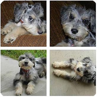 Schnauzer (Miniature)/Australian Shepherd Mix Puppy for adoption in Haughton, Louisiana - Schnauzer mix puppy