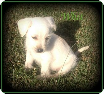 Yorkie, Yorkshire Terrier/Shih Tzu Mix Puppy for adoption in Denver, North Carolina - Whit