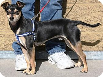 Manchester Terrier Mix Dog for adoption in Gilbert, Arizona - Turby