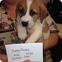 Adopt A Pet :: Chunky Monkey(ADOPTED!) - Chicago, IL