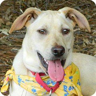 Labrador Retriever Mix Dog for adoption in McCormick, South Carolina - AA Bootsie