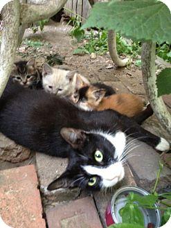 Domestic Shorthair Cat for adoption in Brooklyn, New York - Scarlett